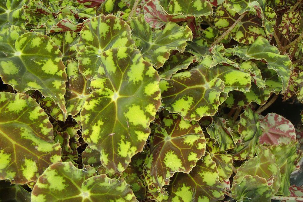 как сажать мяту семенами в домашних условиях
