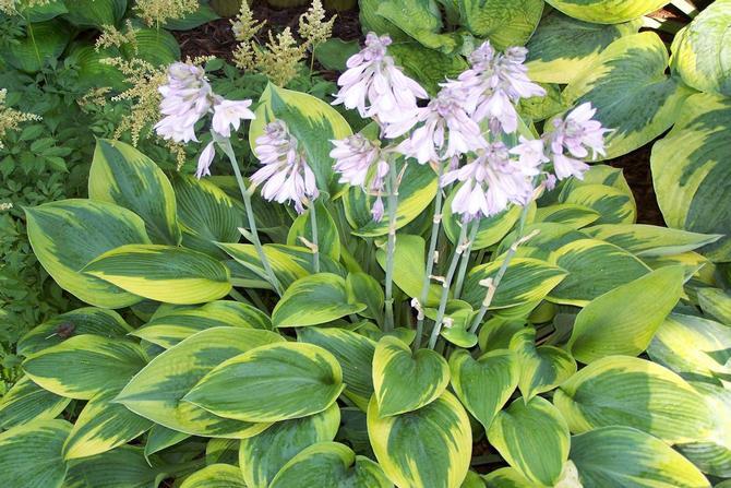 Цветок хоста – посадка и уход. Выращивание хосты из семян, пересадка и размножение. Описание, сорта и виды. Фото