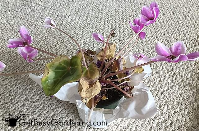 Cyclamen leaves turning yellow means dormancy is starting