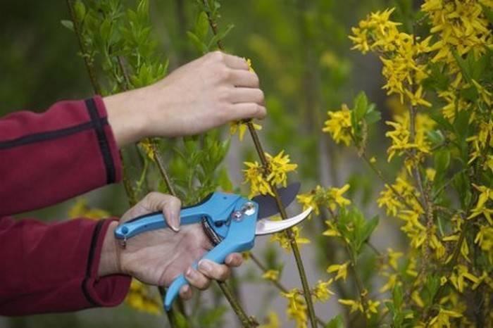 Размножение форзиции черенками черенкование летом весной и осенью Как правильно черенковать и укоренить форзицию