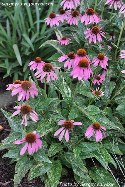 Echinacea Little Hedgehog.JPG