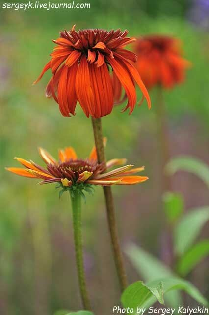 Echinacea Hot Papaya.JPG