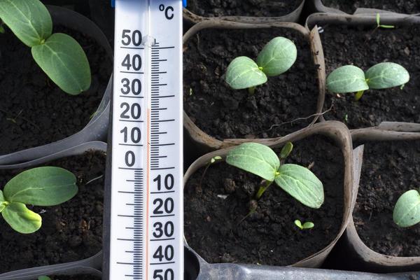 семена огурцов не прорастают что делать
