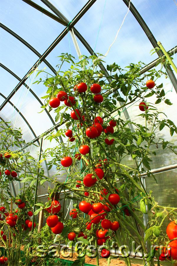 какие помидоры выбрать для теплицы