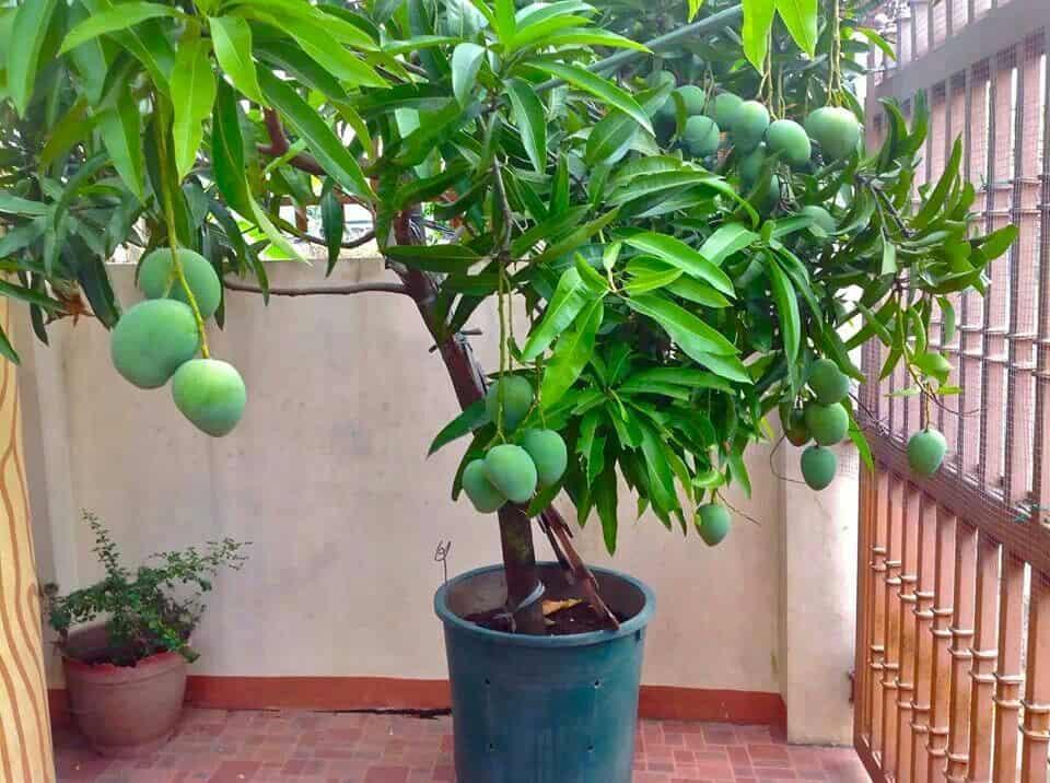 Дерево манго – особенности полива, обрезки и подкормки ...