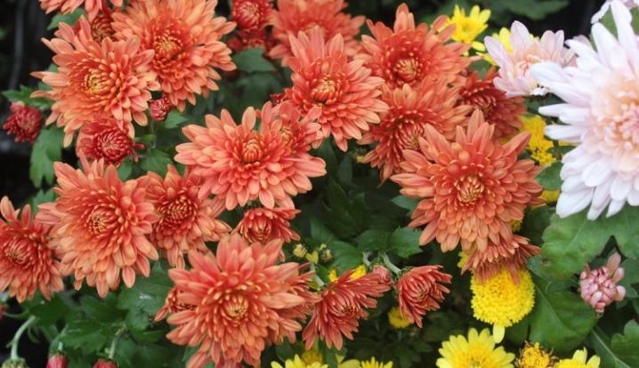 Хризантема индийская 51 фото выращивание индикума из смеси семян в открытом грунте хризантема махровая Indicum Decorum Фанфары и другие сорта Как правильно ухаживать
