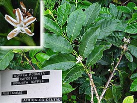 Detail of Coffea canephora branch and leaves.jpg