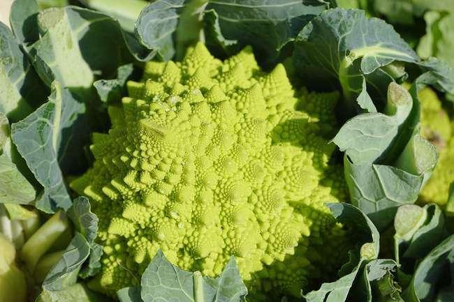цветная капуста семена лучшие сорта для урала