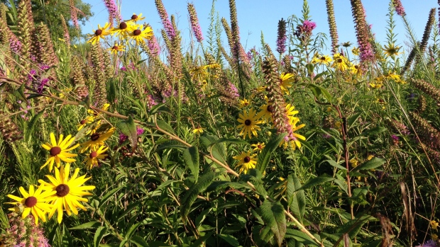 Native plants and meadows